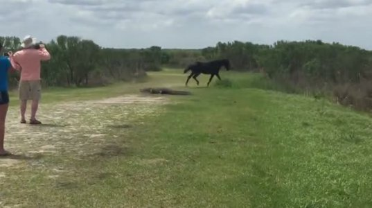 ცხენი ალიგატორს თავს დაესხა(ფლორიდა,აშშ)