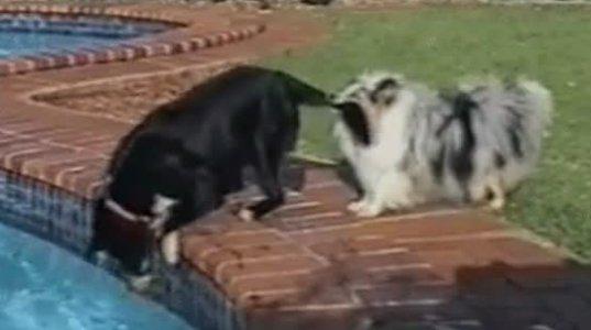 ჭკვიანი ძაღლები..აი როგორ ამოიღეს ბურთი აუზიდან ერთობლივი ძალებით