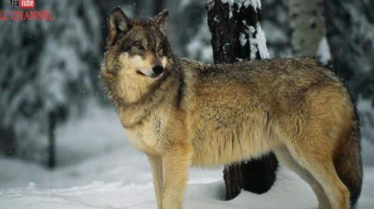 10 საინტერესო ფაქტი მგლებზე