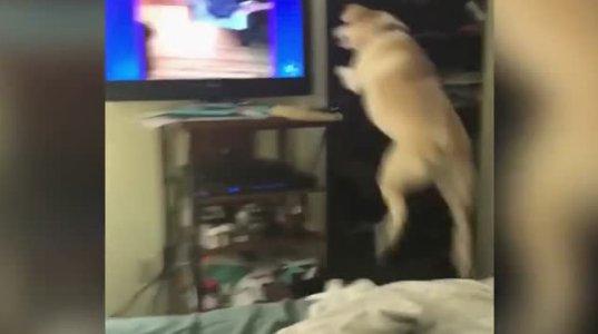 ძაღლი ტელევიზორში სხვა ძაღლებს ხედავს და ეთამაშება. ძალიან საყვარელია