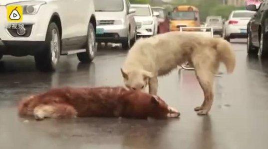 ემოციური ვიდეო ძაღლი ცდილობს დაღუპული მეგობარი ააყენოს