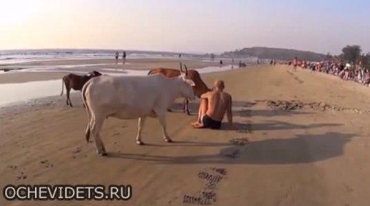ძროხებს რატომღაც იოგათი დაკავებული კაცი არ მოეწონათ და შეუტიეს