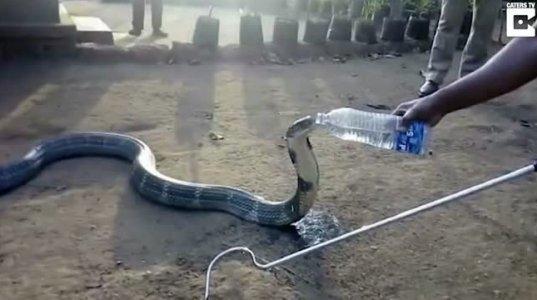 გინახავთ მსგავსი რამ? კაცი, რომელიც კობრას წყალს ასმევს