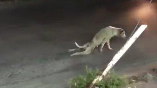 აფერისტი ძაღლი