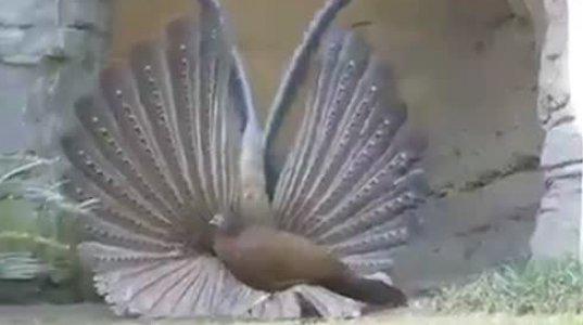 შეყვარებული ფრინველის ფანტასტიური მოძრაობები გაგახალისებთ