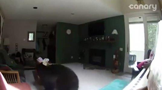დათვი სახლში შეიპარა და პიანინოზე დაუკრა(აშშ,კოლორადო)