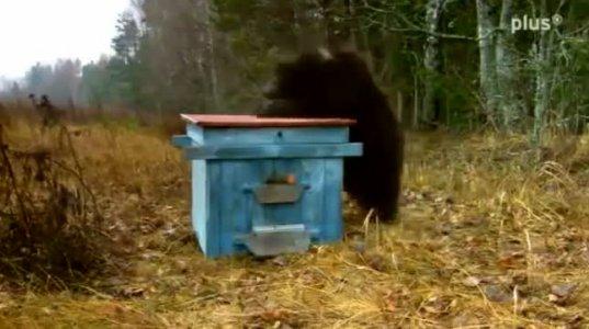 2 ქურდი დათვი ცდილობს გაძარცვოს თაფლიანი სკა