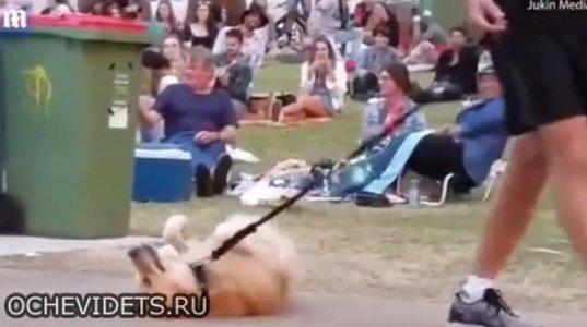ძაღლს პარკიდან წასვლა არ უნდა და თავს იმკვდარუნებს რამაც ხალხი გააცინა