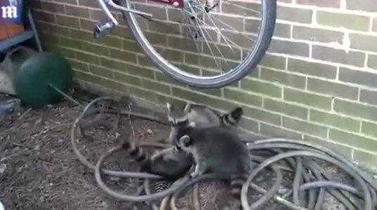 """სამი ენოტი """"ველოსიპედისთვის"""" იბრძვის"""