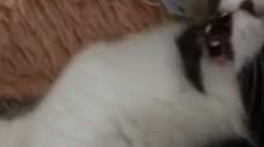 თუთიყუშმა კატის სტომატოლოგობა გადაწყვიტა