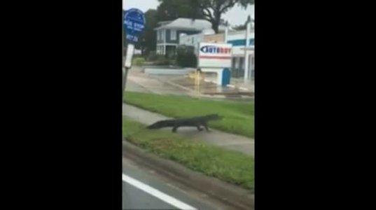 """ქარიშხალი """"ირმას"""" შემდეგ ფლორიდაში, ქუჩაში ალიგატორები დასეირნობენ"""
