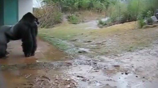 სახალისო ვიდეო გორილები წვიმაში