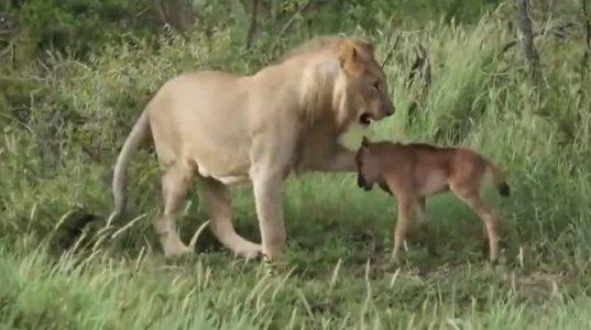 ყველაზე კეთილი ლომი