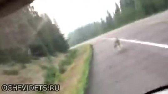 მგელი ტრასაზე მანქანას გაეკიდა და საკმაოზე მეტად სწრაფადაც