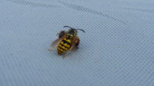 ბზიკის და ფუტკრის სასიკვდილო ორთაბრძოლა ვიდეოზე გადაიღეს