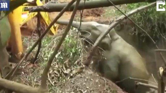 ტალახიან ორმოში ჩავარდნილი სპილო ტრაქტორის დახმარებით ამოიყვანეს