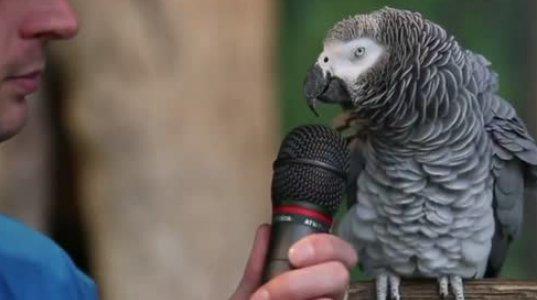 მომღერალი თუთიყუში ვის გინდათ