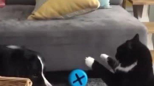 კატა,რომელიც ძაღლს გამუდმებით ეღლაბურცება ინტენრეტვარსკვლავად იქცა