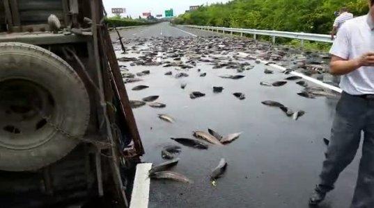 აი რა შედეგი მოჰყვა მანქანის გადაბრუნებას,რომელსაც თევზები გადაჰქონდა