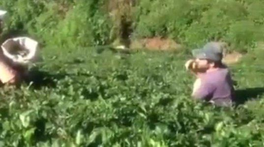 თურქეთში ლაზეთში, ჩაის კრეფისას ქართველებმა ქართული პატრიოტული სიმღერა დააგუგუნეს