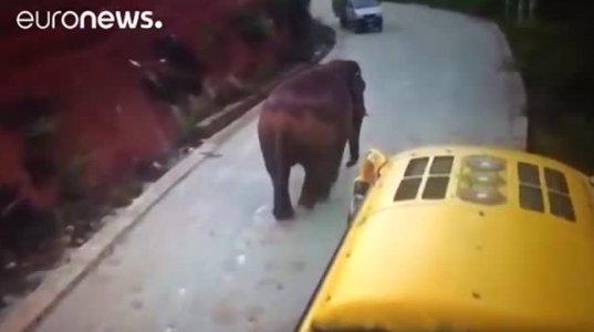 ჩინეთში სპილო ტურისტულ ავტობუსს წინ გადაუდგა და არ უშვებდა