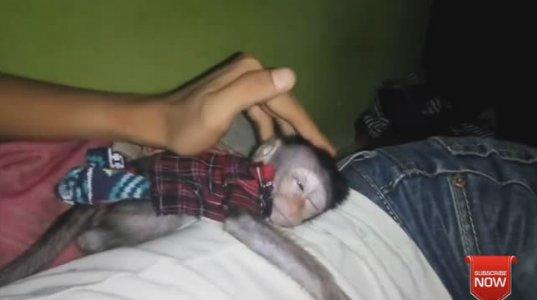 სასაცილო მაიმუნის მაიმუნური ვიდეო– იხალისეთ