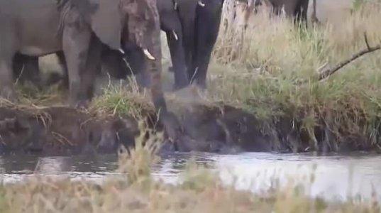 სპილო ბეჰემოტს თავს დაესხა,ჩათვალა,რომ სპლიყვებისთვის საფრთხეს წარმოადგენდა