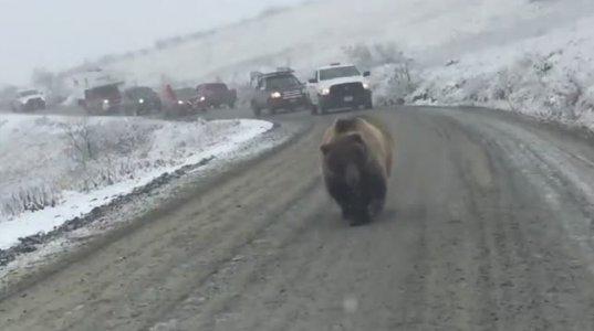 დათვმა ანახა ვინ იყო მთავარი