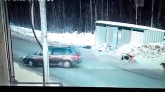 გულისხმიერმა მძღოლმა გოგონა ძაღლების ხროვისგან იხსნა და მანქანა ფარად დაუყენა(რუსეთი)