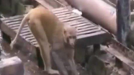 მაიმუნმა მეგობარი სიკვდილს გადაარჩინა- ყველაზე ემოციური კადრები