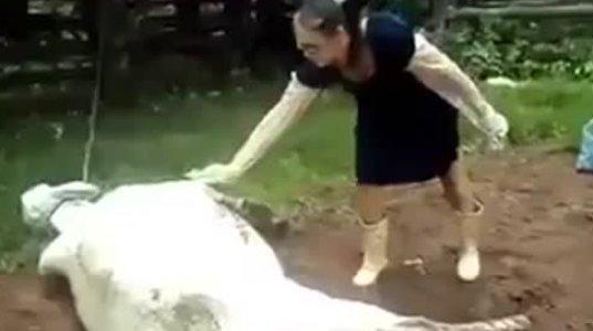 """ძროხამ გოგო """"ჩაწიხლა"""""""