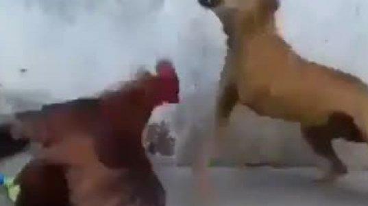 მამალი და ძაღლი საუკუნის ბრძოლა