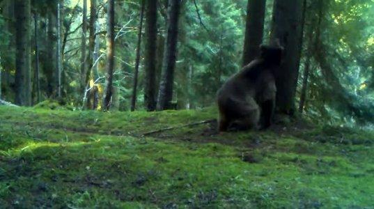 ბორჯომ ხარაგაულის ეროვნულ პაკრში ''მოცეკვავე'' დათვი დააფიქსირეს