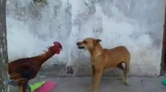 """მამალმა ისე """"მიძუყნა"""" ძაღლი კუდამოძუებული გაიქცა საბრალო"""
