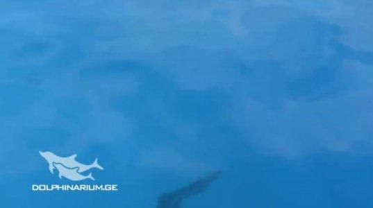 ბათუმის დელფინარიუმში  სამი  პაწაწინა დელფინი  დაიბადა