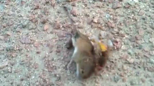 """ნახეთ (""""ოსამ"""") კელამ საბრალო თაგვს რა უყო, რომ იცოდეთ ადამიანისთვისაც ძალზე საშიშია მისი ნაკბენი"""
