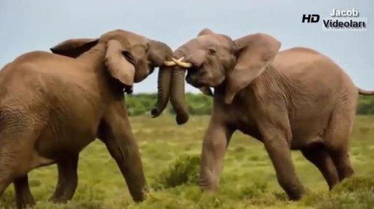 ცხოველების დაპირისპირება, სასიკვდილო ბრძოლები