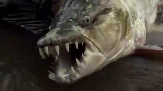 """კბილებით პირანიას ჰგავს. მეთევზის მიერ დაჭერილი """"ურჩხული"""""""