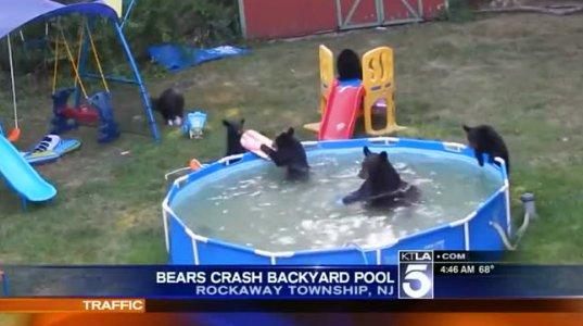 დათვები აუზში საბანაოდ შეიპარნენ