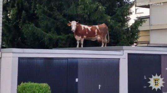 ფერმიდან გაქცეული ძროხა ქალაქში, გარაჟის თავზე იპოვეს(გერმანია)