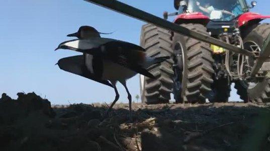 ფერმერმა ტრაქტორის სათესი ასწია,რომ ფრინველისთვის არ ევნო,რომელსაც კვერცხები ჰქონდა დადებული(არგენტინა)