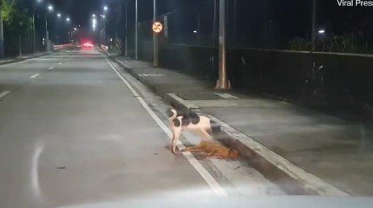 ძაღლი თავის მეგობრის გაცოცხლებას ლამობს (კესონ-სიტი,ფილიპინები)