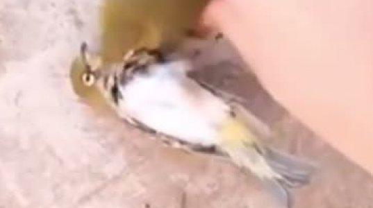 ფრინველებიც კი ადამიანებზე ერთგულები არიან, მკვდარი მეწყვილის დანახვამ ჩიტს გული გაუხეთქა