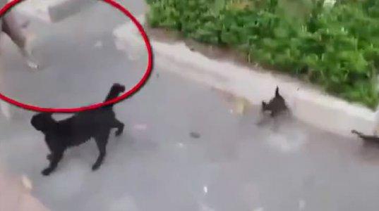 """კნუტების დაცვის მიზნით კატამ უზარმაზარი ძაღლი """"გაძუყნა"""""""