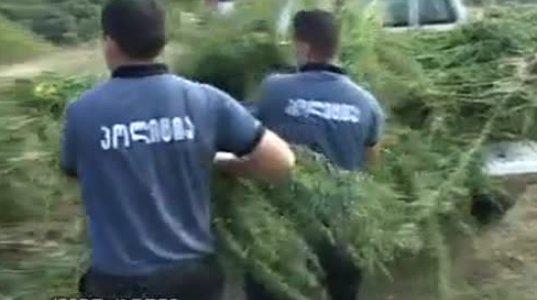 მცხეთა-მთიანეთში კანაფის პლანტაცია იქნა განადგურებული. რესპექტი პოლიციას