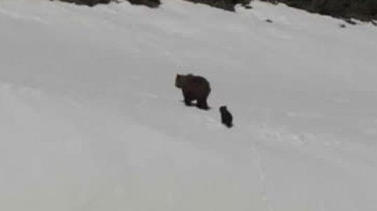 დედა  დათვი  ბელს  თოვლში სიარულს  ასწავლის