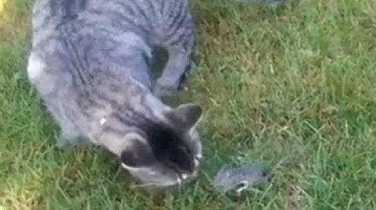 თაგვი კატის დანახვაზე თავს იმკვდარუნებს, ზესახალისო ვიდეოკოლაჟი თაგვებზე და კატებზე