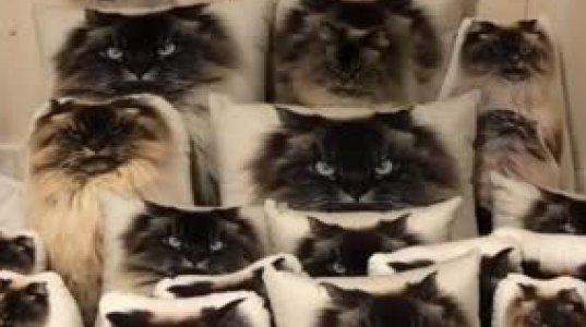 იპოვეთ ბალიშებში ჩამალული კატა