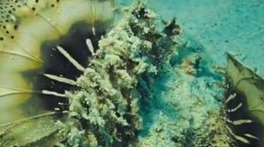 თევზი-ქვა: ყველაზე  შხამიანი  თევზი  დედამიწაზე