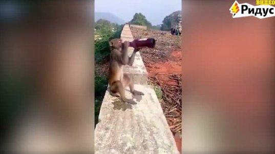 ინდოეთში მაიმუნმა ტურისტს ლუდი წაართვა და ერთ წუთში ჩაცალა